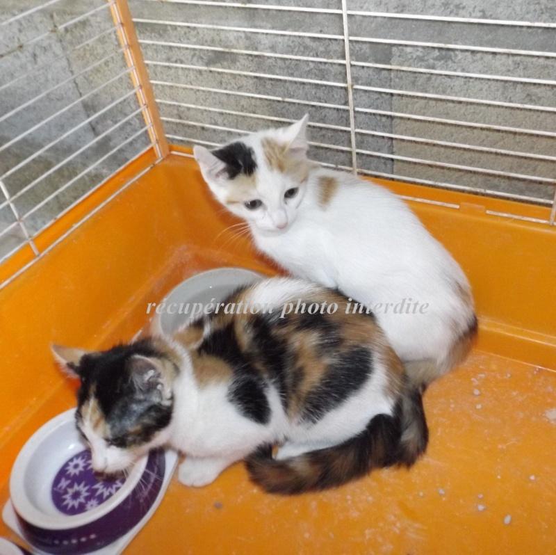 Deux chatonnes 3 mois blanche et tricolore - Fourrière sud 44 - délai 17/08/2015 3f15