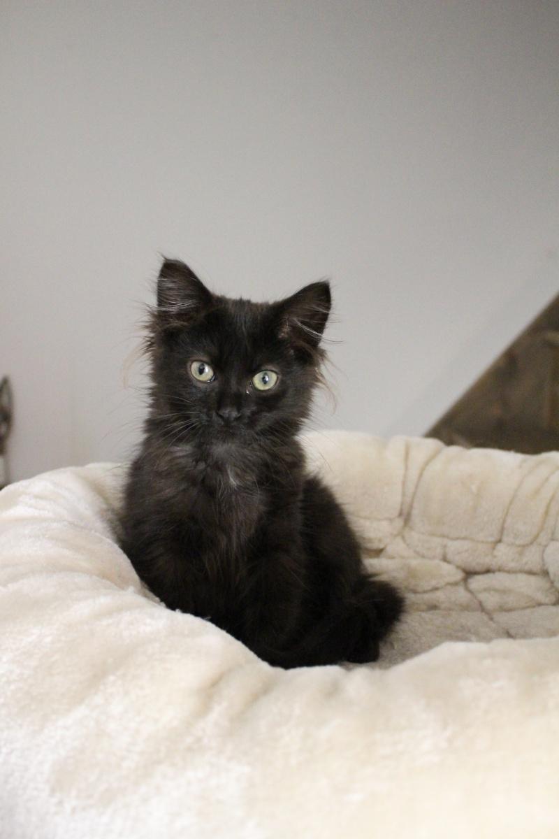 Luffy, chaton poils longs couleur chocolat à Niort Img_0511