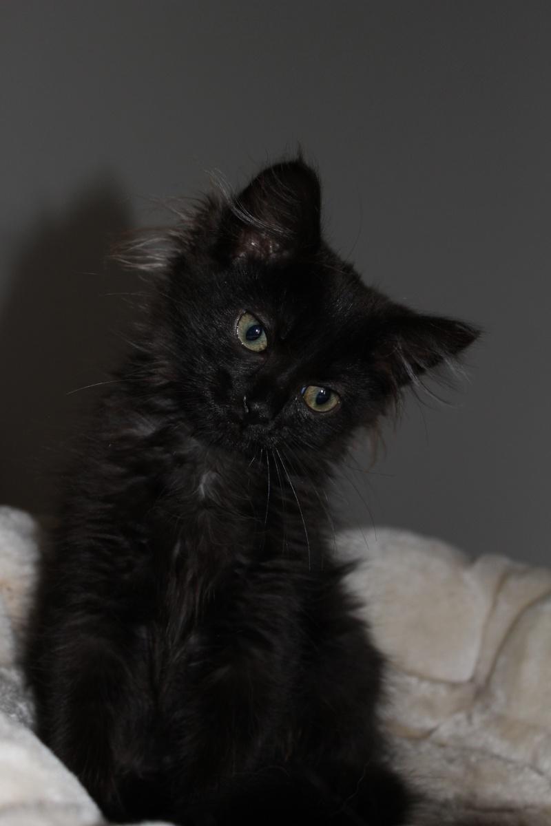 Luffy, chaton poils longs couleur chocolat à Niort Img_0512