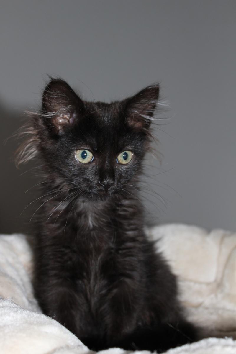 Luffy, chaton poils longs couleur chocolat à Niort Img_0513