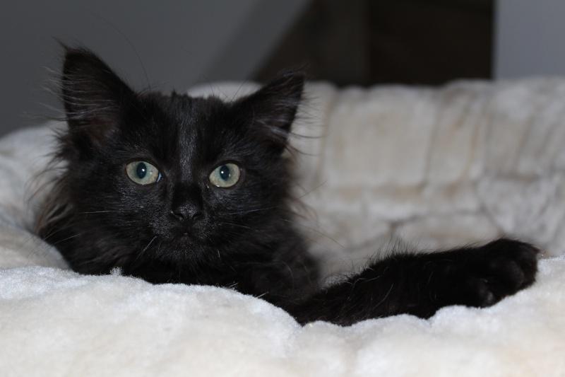 Luffy, chaton poils longs couleur chocolat à Niort Img_0514