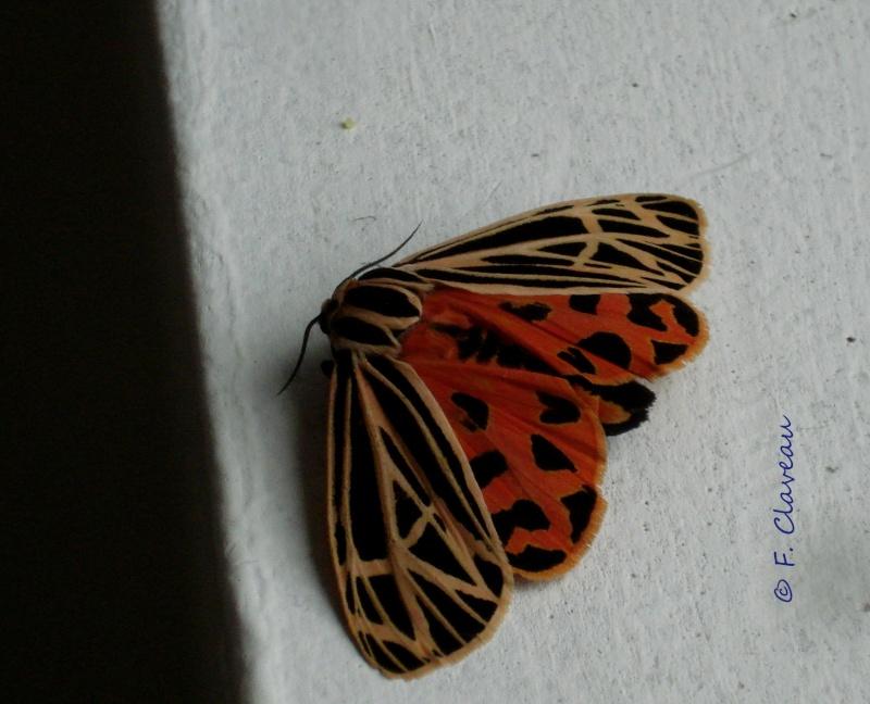 id - papillon  Dsc01810