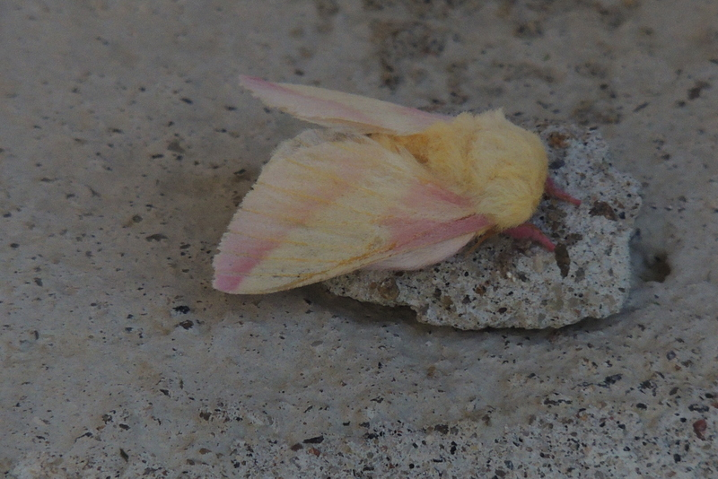 id - papillon Dscn4410