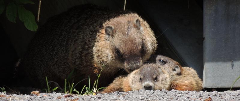maman et petits - Marmotte - St-Joachim Dscn6310