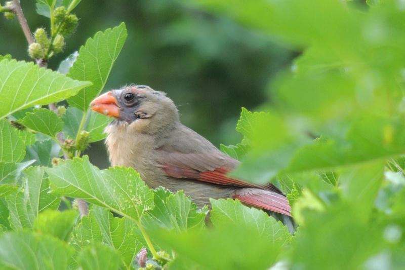 cardinal rouge - en mûe Dscn9310