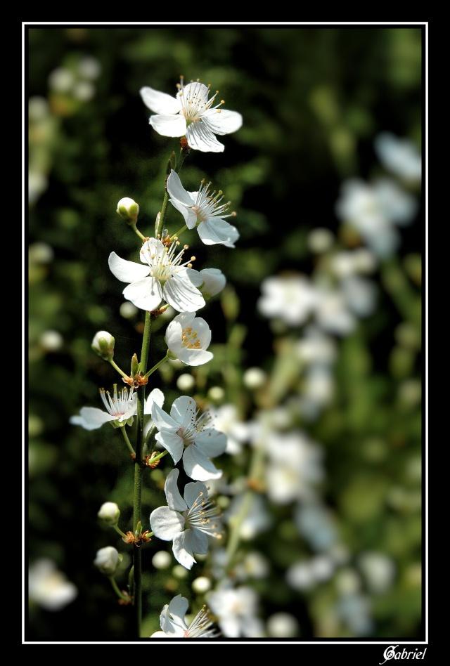 Fleurs de Prunier Fleur_10