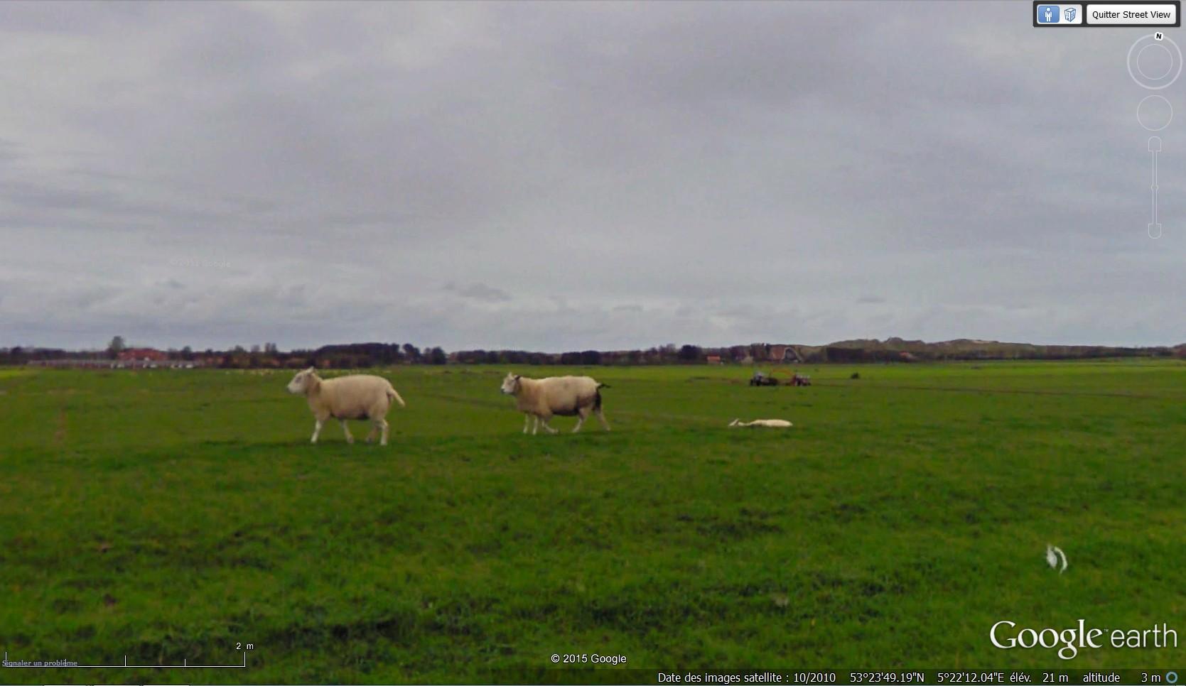 STREET VIEW : mouton à cinq pattes à Oosterend - Pays-Bas 2015-075