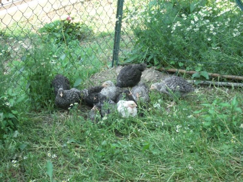 les coucou de rennes de coco38 01410