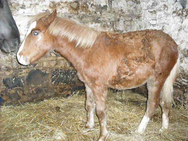 BRINDILLE, pouliche Welsh, six mois, TERNAT (Belgique) ADOPTEE Dscf0511