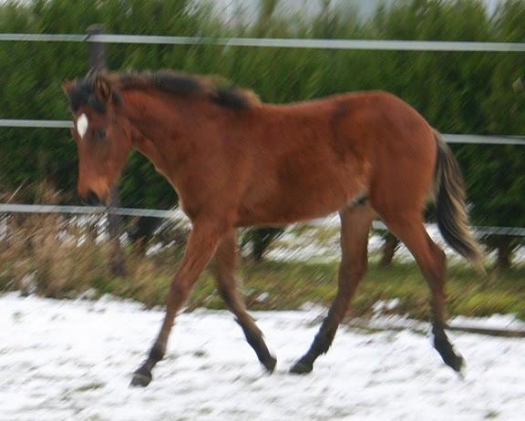 Diablo, poulain croisé franche montagne, né en juin 2009, bai, ADOPTE Img_2311