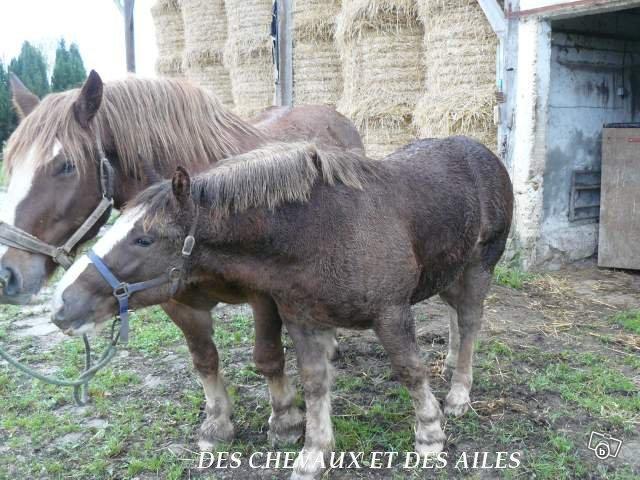 Victor, poulain trait breton, six mois, 650 euros, appel aux dons (ADOPTE) Victor12