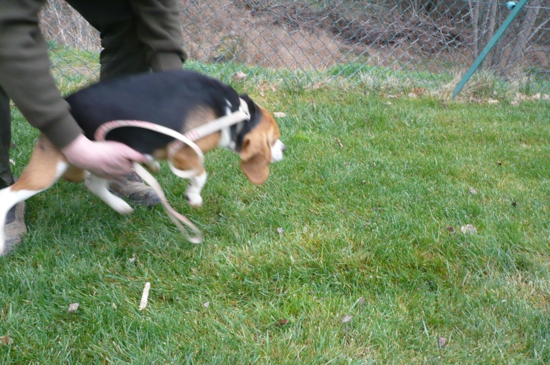 CHIQUITA, beagle femelle LOF, 3 ans (07) Chiqui18