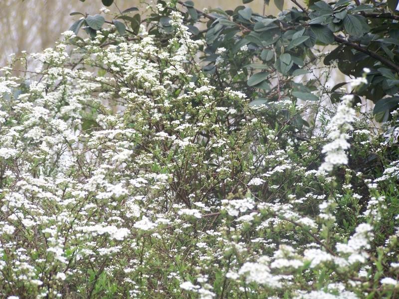 Buisson a fleurs blanches ? Spirée Van Houttei 100_4110