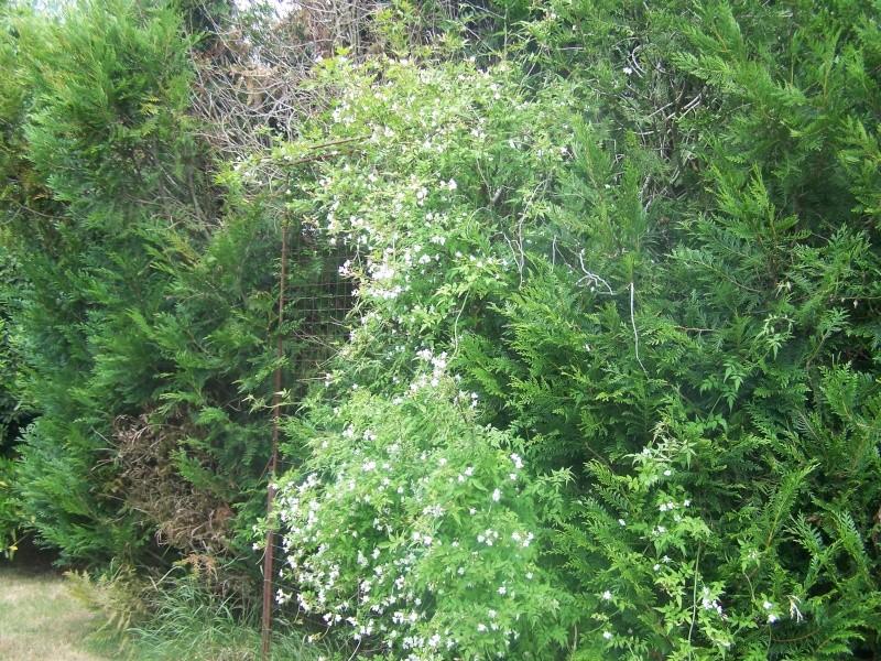 Buisson a fleurs blanches ? Spirée Van Houttei 100_5013