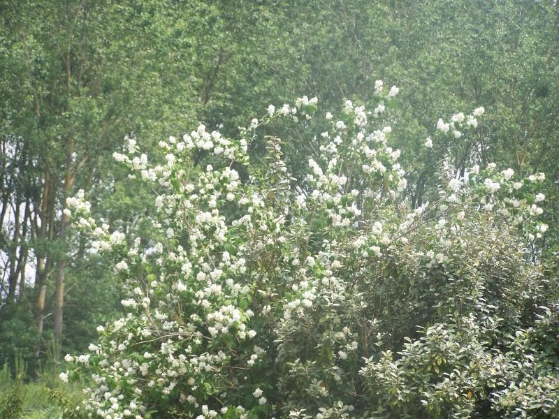 Buisson a fleurs blanches ? Spirée Van Houttei 100_5014