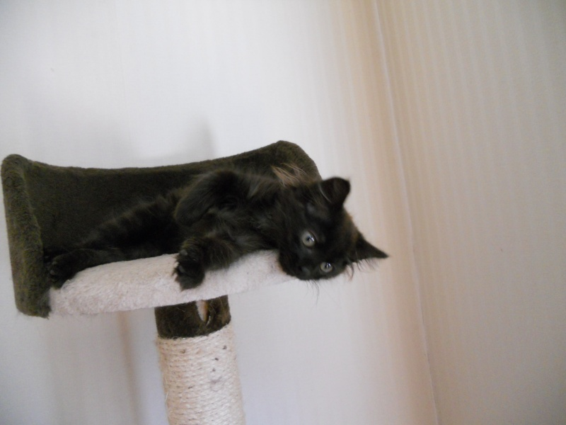 Luffy, chaton poils longs couleur chocolat à Niort Dscn4510