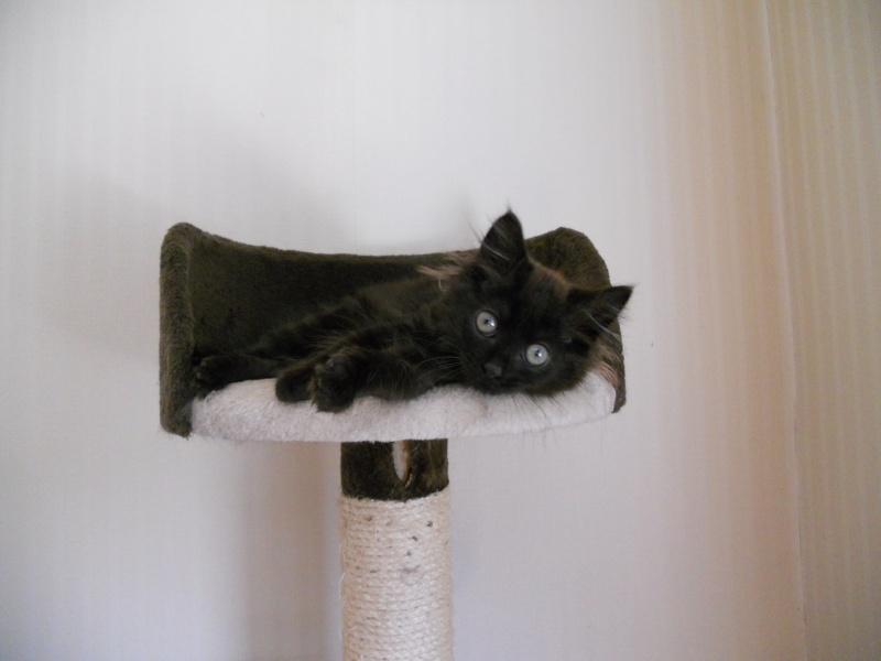 Luffy, chaton poils longs couleur chocolat à Niort Dscn4511