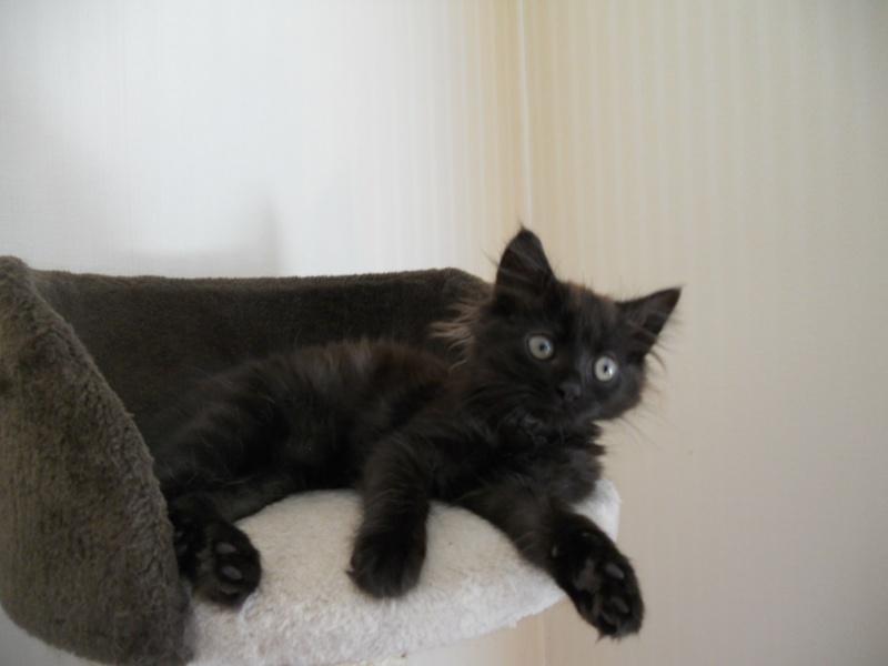 Luffy, chaton poils longs couleur chocolat à Niort Dscn4512