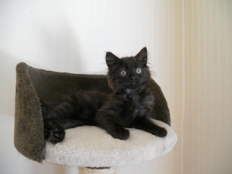 Luffy, chaton poils longs couleur chocolat à Niort Dscn4513