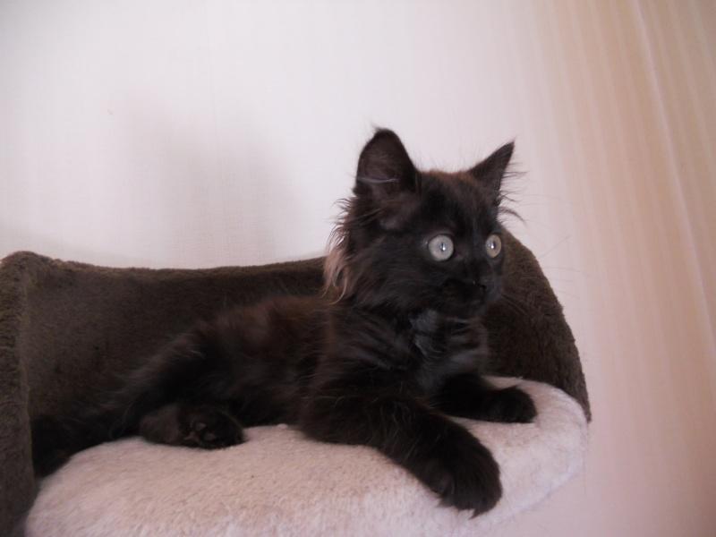 Luffy, chaton poils longs couleur chocolat à Niort Dscn4514
