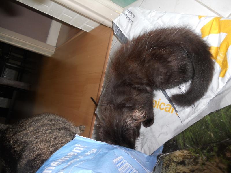 Luffy, chaton poils longs couleur chocolat à Niort Dscn4516