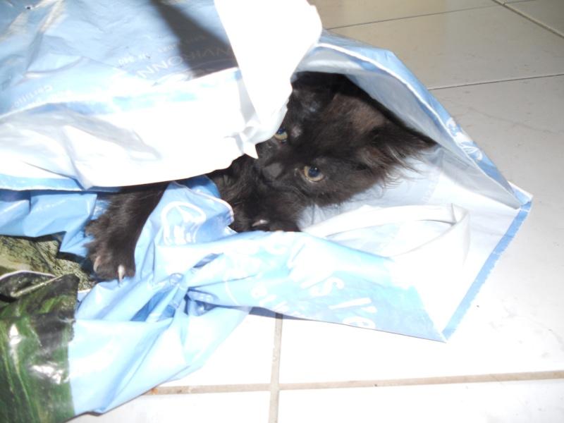Luffy, chaton poils longs couleur chocolat à Niort Dscn4517