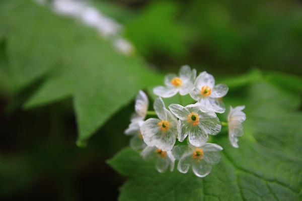 Kỳ lạ loài hoa trắng trong suốt khi trời mưa 15071713