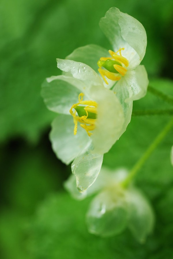 Kỳ lạ loài hoa trắng trong suốt khi trời mưa 15071715