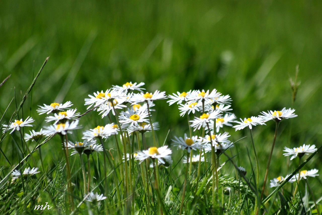 Hoa cỏ dại Hinh-n39