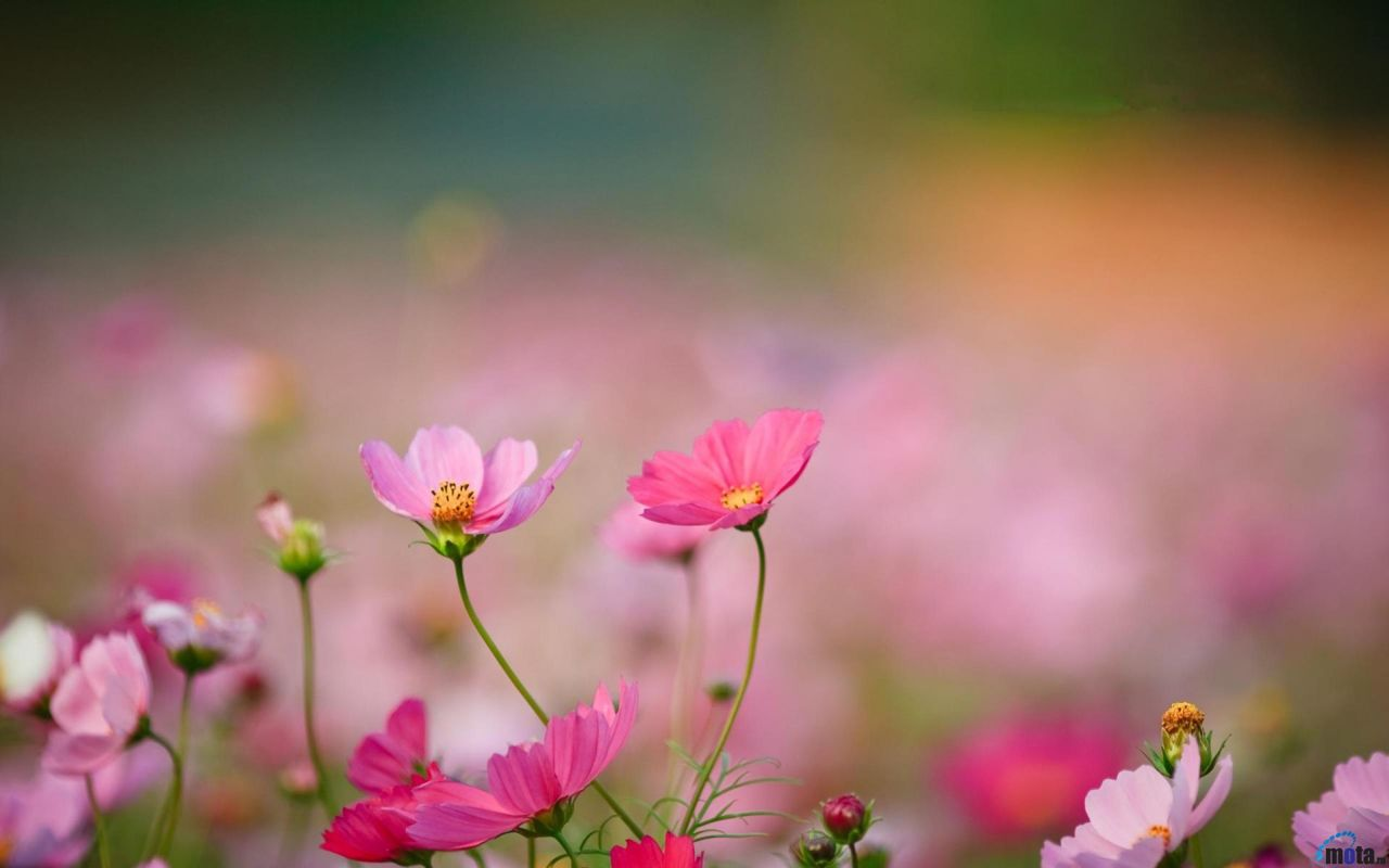 Hoa cỏ dại Hinh-n40