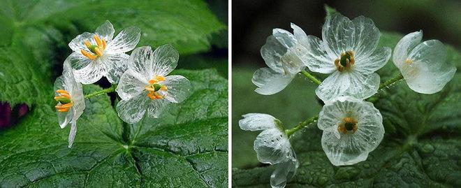 Kỳ lạ loài hoa trắng trong suốt khi trời mưa Hoa4-110