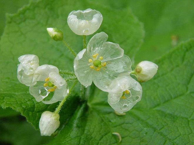 Kỳ lạ loài hoa trắng trong suốt khi trời mưa Hoa5-110