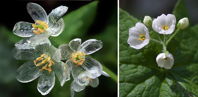 Kỳ lạ loài hoa trắng trong suốt khi trời mưa Hoa6-110