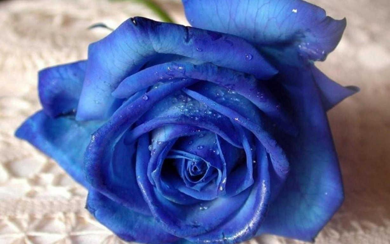 Hoa hồng xanh dương Ngam-v10