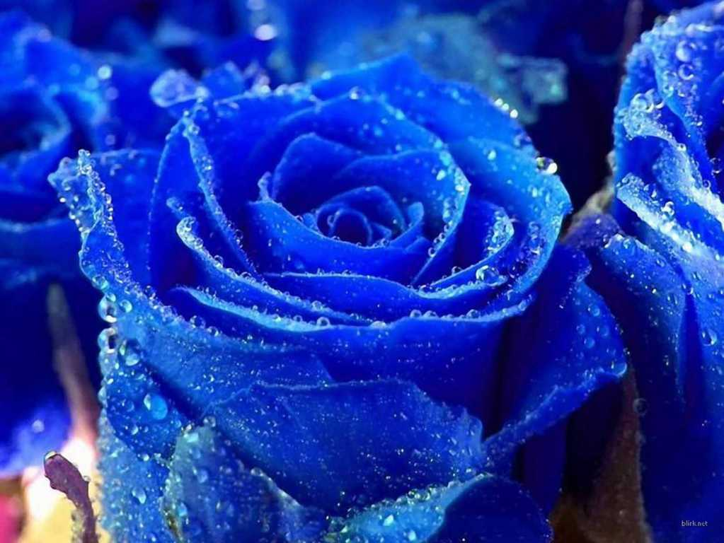 Hoa hồng xanh dương Ngam-v11