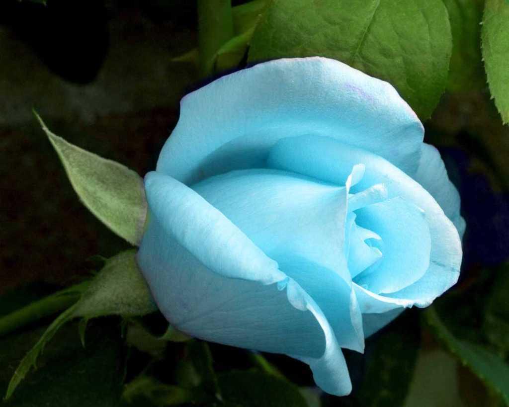 Hoa hồng xanh dương Ngam-v12