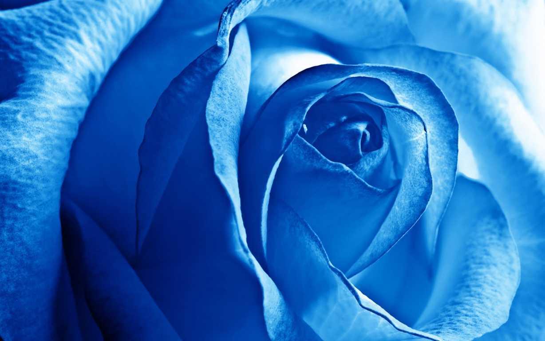 Hoa hồng xanh dương Ngam-v13
