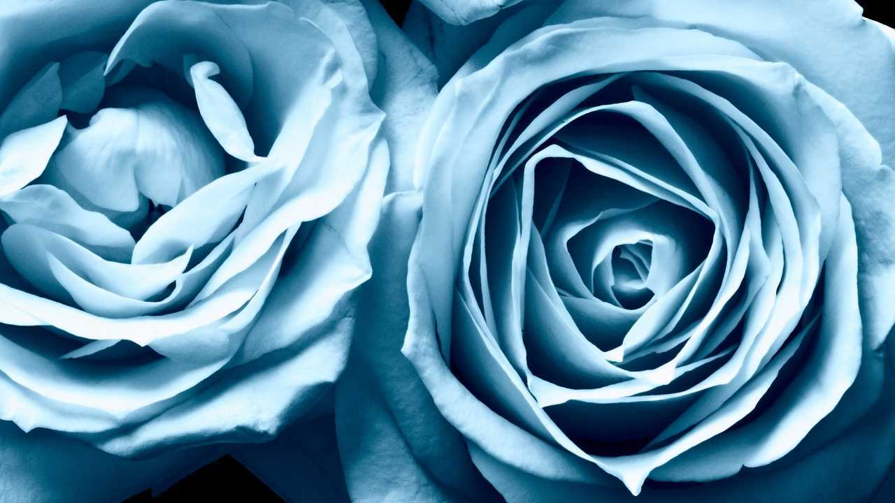 Hoa hồng xanh dương Ngam-v14