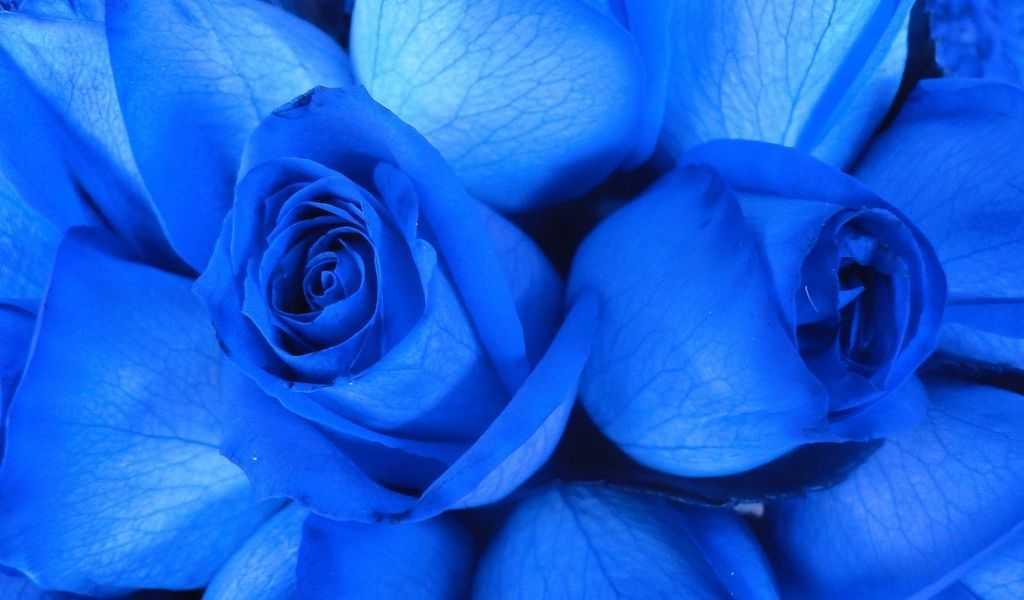 Hoa hồng xanh dương Ngam-v15