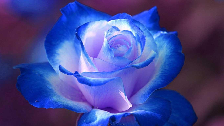 Hoa hồng xanh dương Ngam-v17