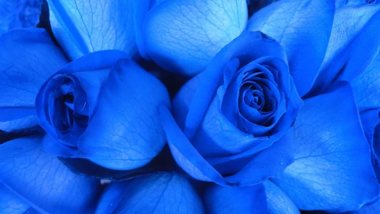 Hoa hồng xanh dương Ngam-v18