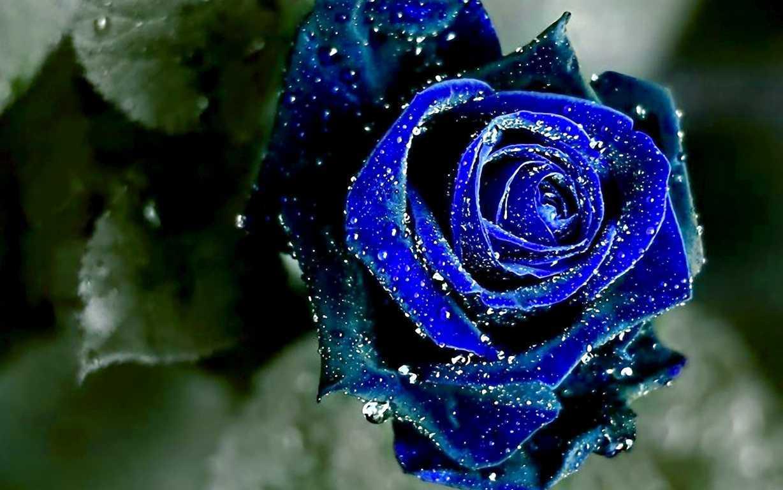 Hoa hồng xanh dương Ngam-v19