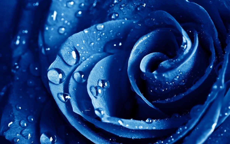 Hoa hồng xanh dương Ngam-v21