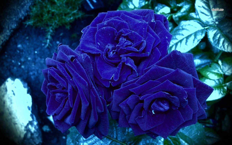 Hoa hồng xanh dương Ngam-v22