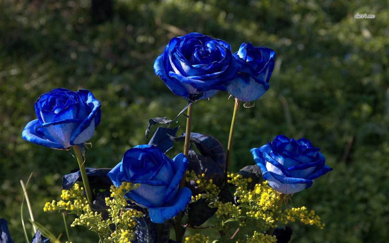 Hoa hồng xanh dương Ngam-v24