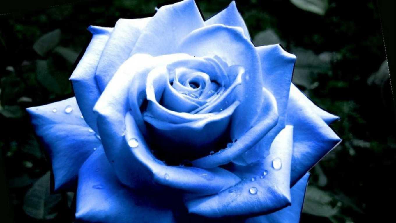 Hoa hồng xanh dương Ngam-v25