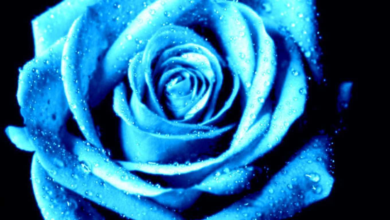 Hoa hồng xanh dương Ngam-v26