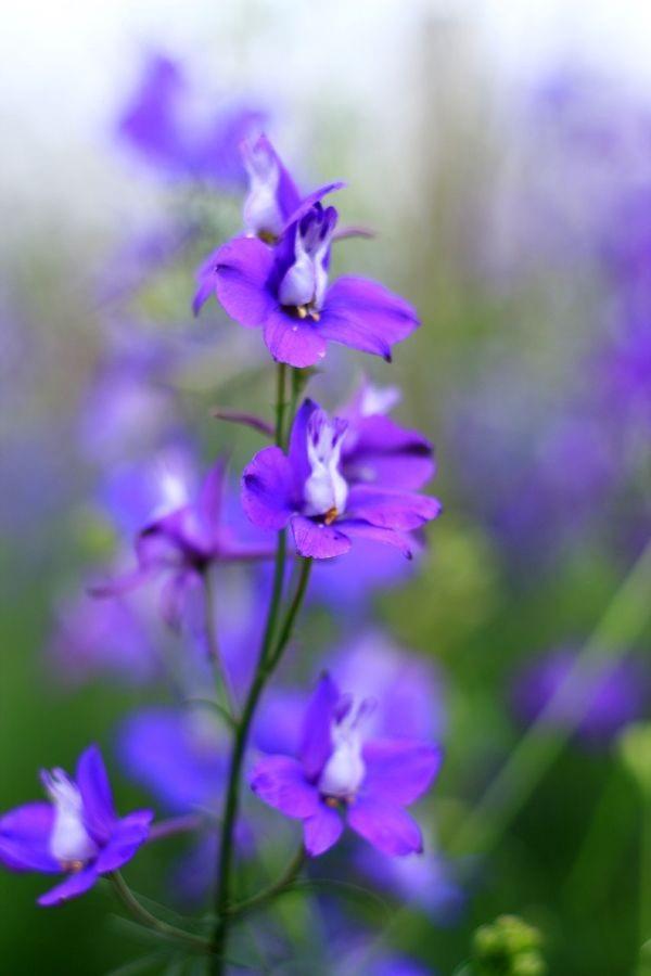 Loài hoa đem lại may mắn cho 12 cung Hoàng đạo Viloet10