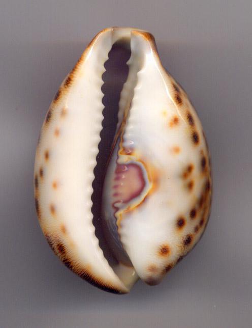 Cypraea Porcel10