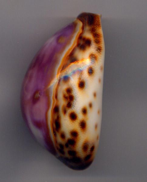 Cypraea Porcel12